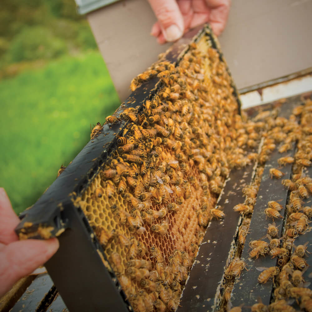 Our Friends,<br /> The Bees